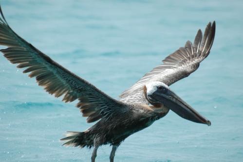 pelican-barbudas-4.JPG