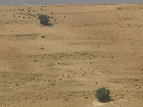 Les troupeaux repandus sur Madal Amallal