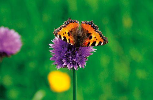 Papillon (Ph. Laurent Crassous)