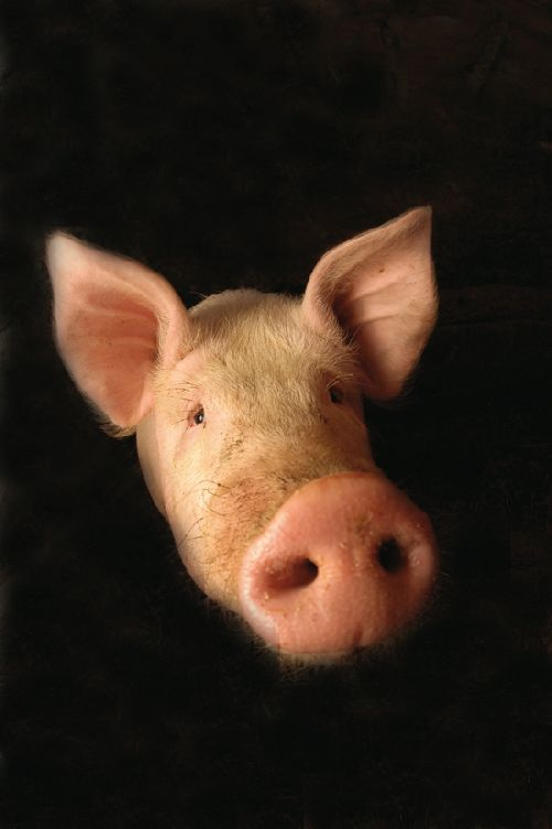 Cochon (Ph. Laurent Crassous)