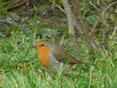 LE ROUGE GORGE : Quelques photos de notre bel ami, le rouge gorge, qui visite régulièrement notre jardin !!!,