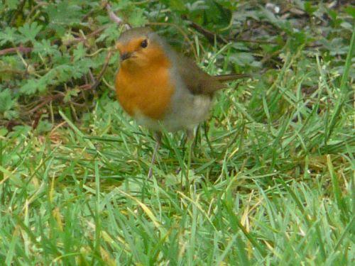 LE ROUGE GORGE : Quelques photos de notre bel ami, le rouge gorge, qui visite régulièrement notre jardin !!!