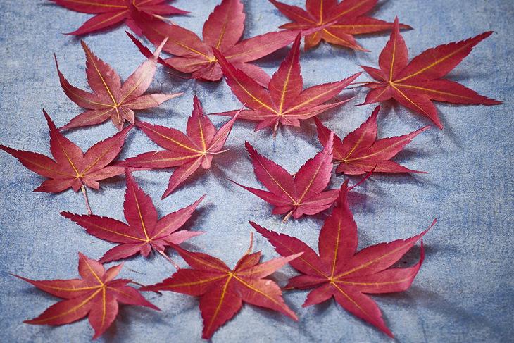 feuilles-d-erable-japonais-sechees-momiji-001.jpg