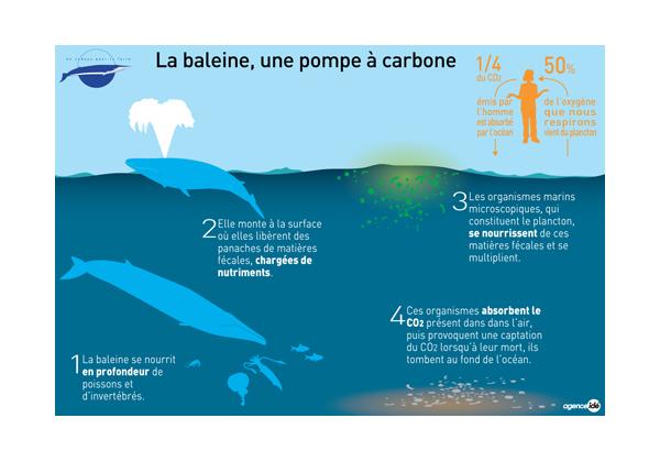 Baleine. Pompe à carbone.jpg