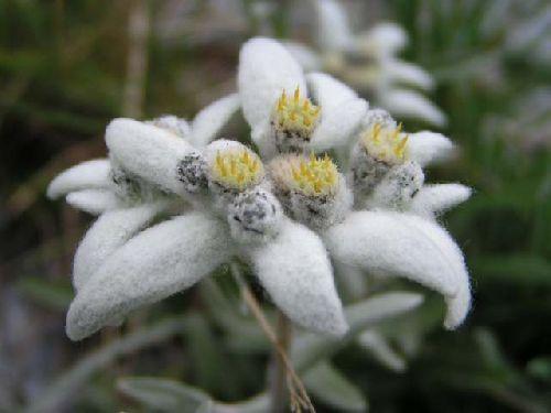 Interdiction de ramasser l'edelweiss