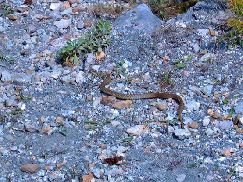 Duranus : un serpent sauvée de la noyade