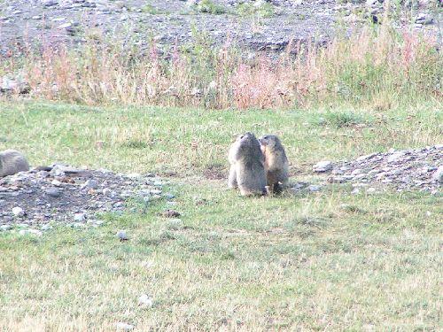 Aigue Agnelle : marmottes