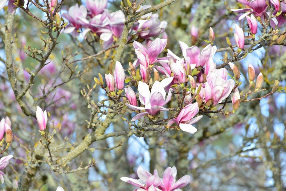 Magnolia 018.JPG