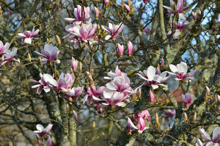 Magnolia 042.JPG