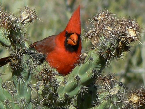 le Northern Cardinal (mâle)