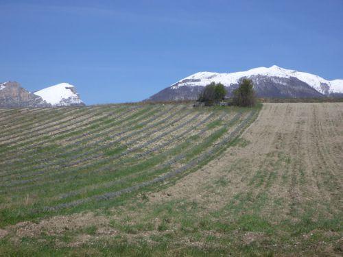 La lavande sous l'oeil enneigé du Veyou des Trois becs et du Grand Ferrand