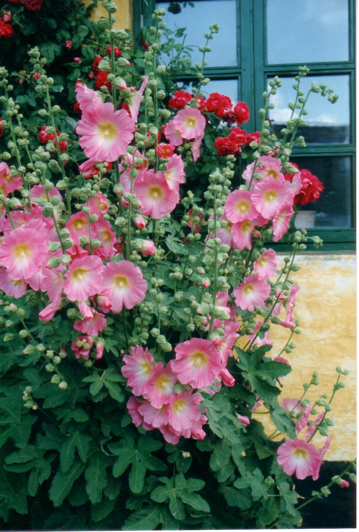 Roses trémières à Ebeltoft.jpg