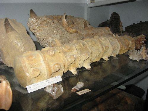 Neuf  vertèbres de Mosasaure trouvées a  Maestrich (Crétace sup)