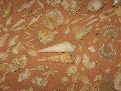 Coquilles Miocène Gironde