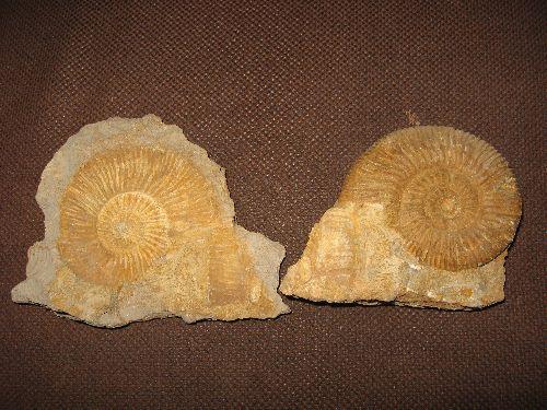 Perisphinctes  Callovien