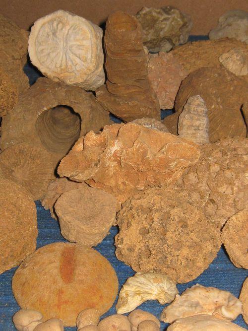 Fossiles du Crétacé supérieur trouvés dans les labours du Sarladais  en prospection