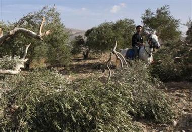 A Burin, novembre 2009 : les colons israéliens ont déracinés les oliviers