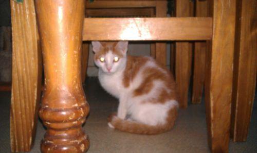 petite male de 3 mois roux et blanc
