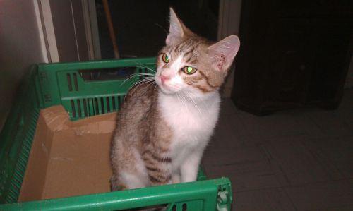 Petite male tigré blanc et gris 3 mois
