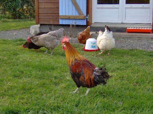 Le lendemain, il fait connaissance avec les poules
