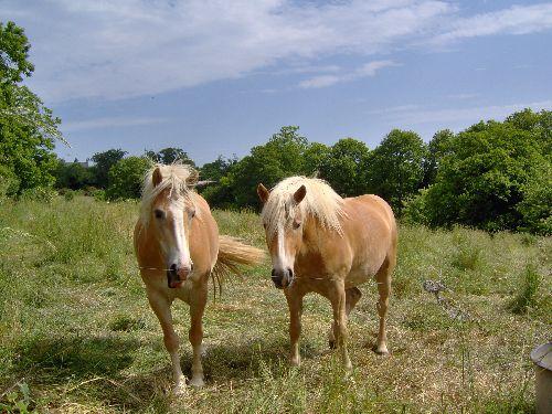 Un couple de jeunes Haflingers