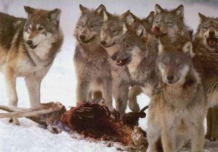 loup repas.jpg