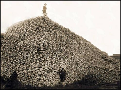 Le massacre des bisons en Amérique-2[3].jpg
