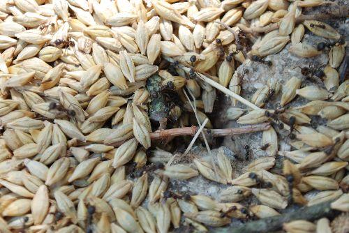 Rien ne se perd, Almila a oublié un peu d'orge... Les fourmis rangent!