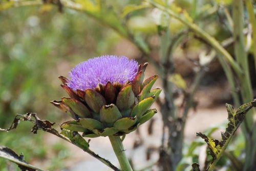 30 juin 2010 - Fleur d'artichaut ....