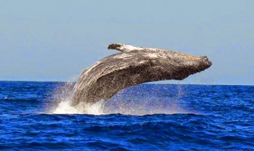 Baleines Reunion.jpg