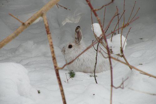 lièvre avec sa couleur hivernale, sous couvert forestier