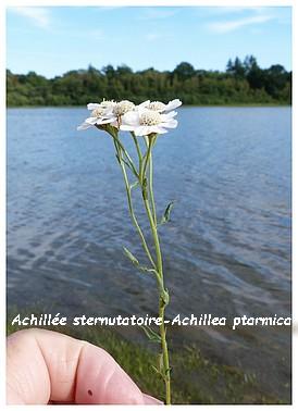 Achillee sternutatoire - Achillea ptarmica. 11 jpg.jpg