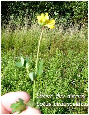 Lotier des marais - Lotus pedunculatus. 11jpg.jpg