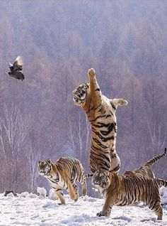 Tigres s'amusant avec un papillon.