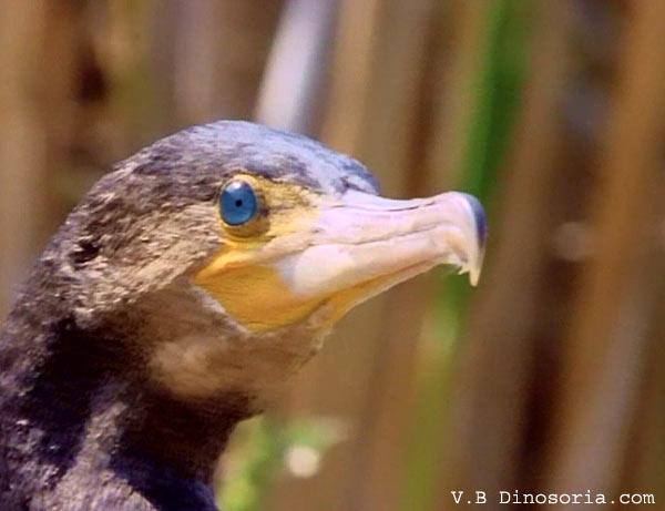 cormoran 4.jpg