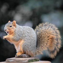 ecureuil fauve blog.jpg