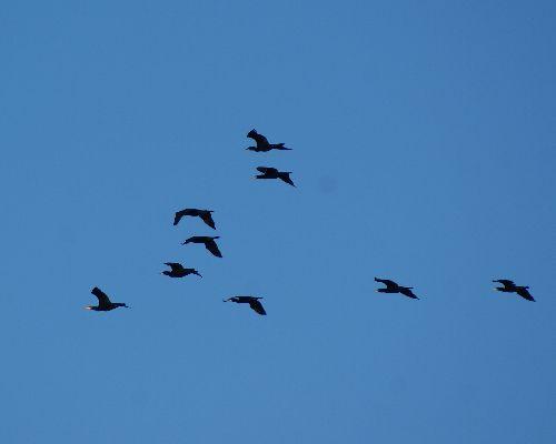 Vol de Cormorans - 4 Décembre 2009