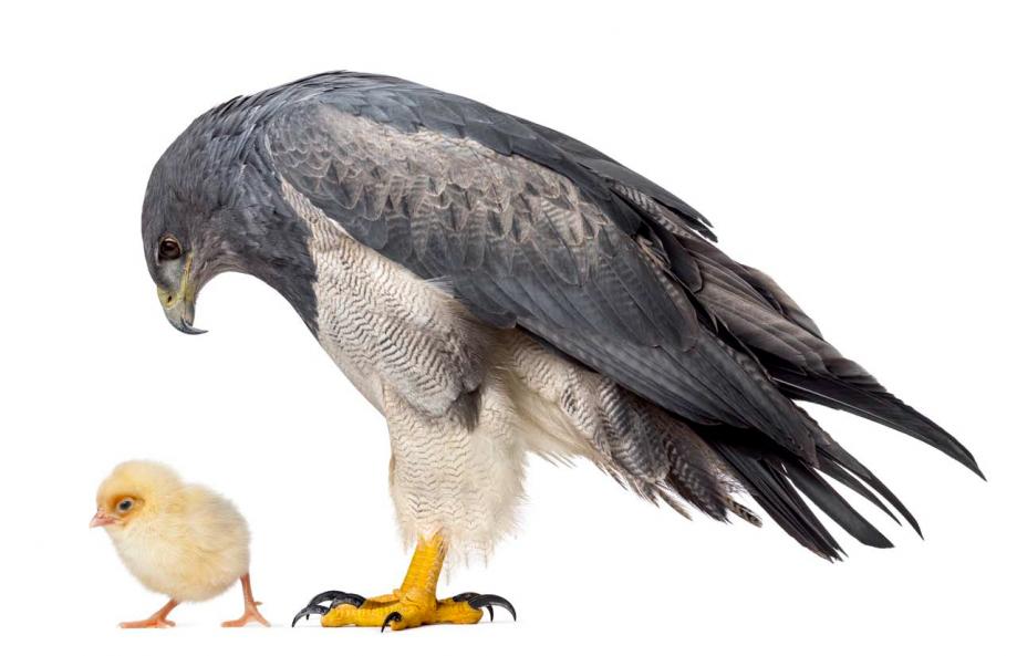 Poulet ou Aigle.png