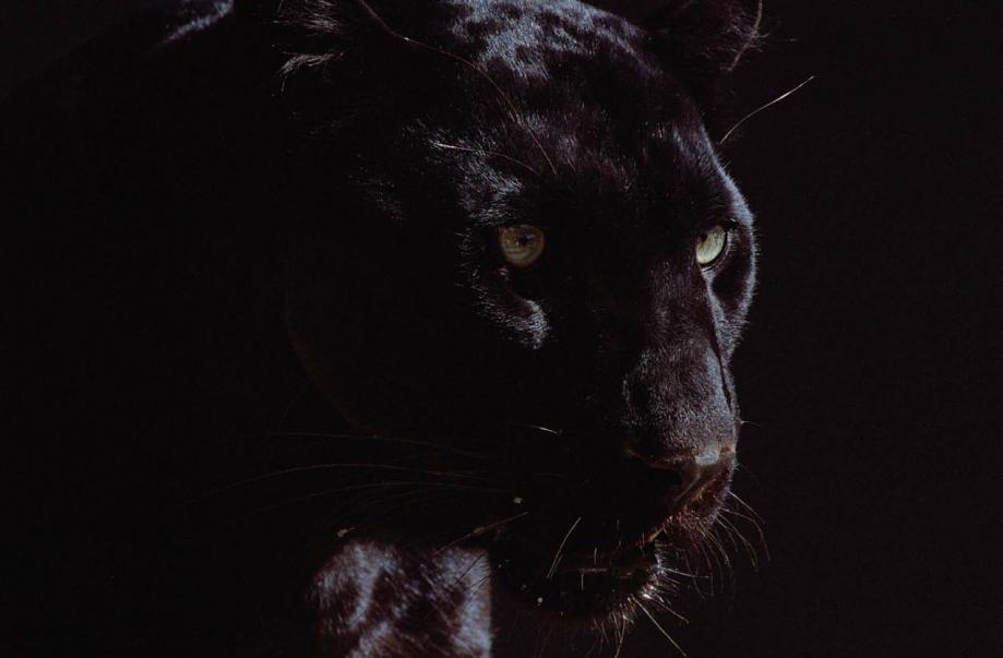 Panthère noire.png