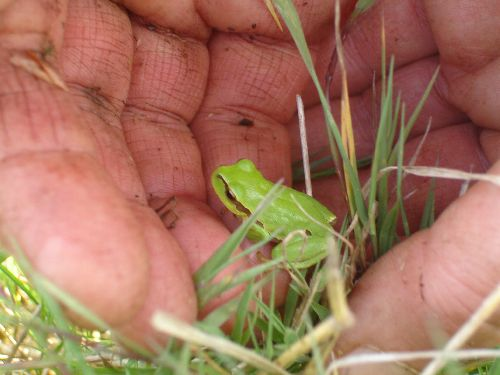 Jeune rainette verte