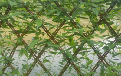 Vannerie Osier Osier vivant plants et bouture d\'o