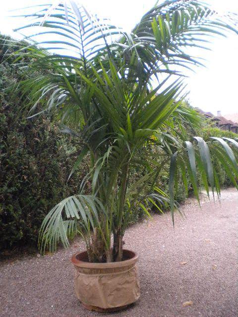location de palmier 30 euro par plantes plus livraison