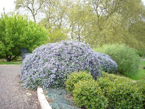 Céanothe bleue