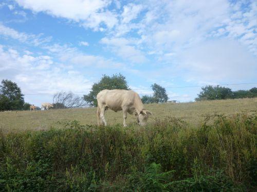 Une vache rare : la meuh meuh à cloche, près de Fichous-Riumayou