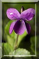 Viola_odorata.jpg
