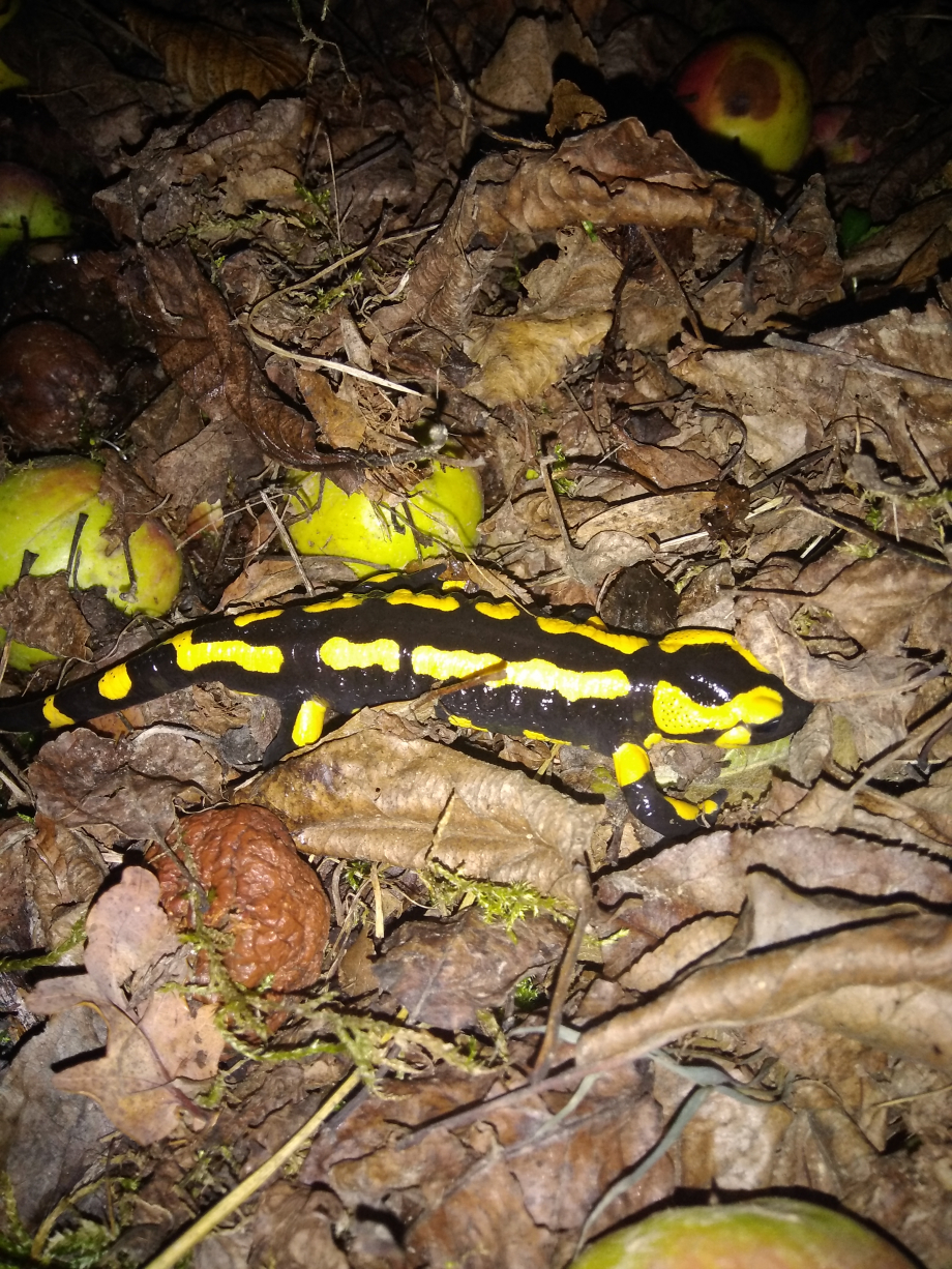 salamandre.jpg