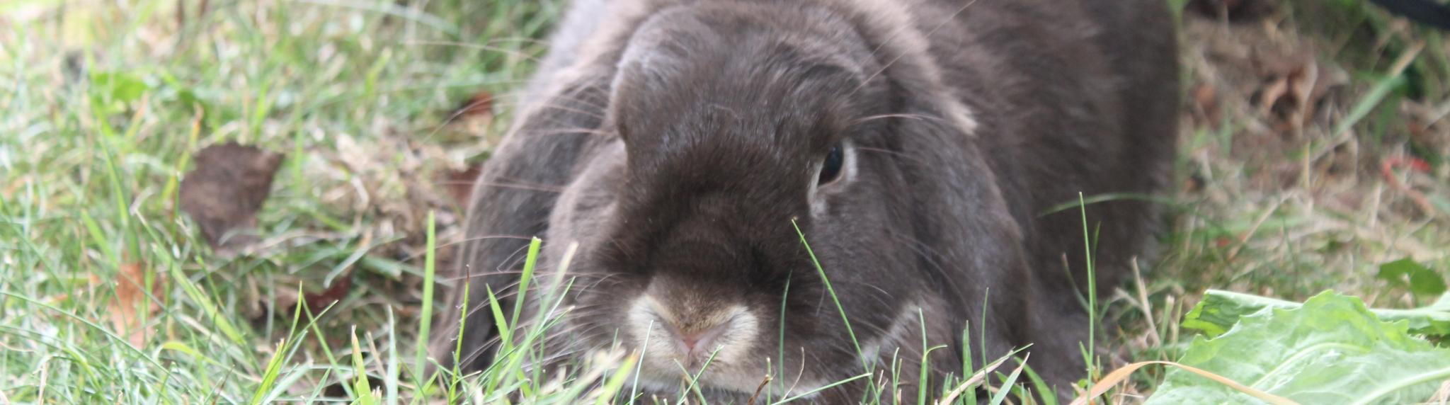 les lapins libres