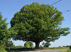 Le chêne rond La Buxerette.jpg