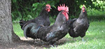 poule noire 02.jpg