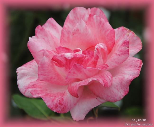 rose rose 2 tons.JPG
